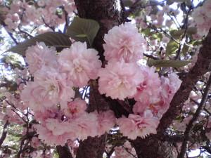 Omura-zakura